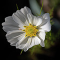 White Garden Cosmos by Scott Lyons