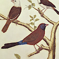 White Headed Munia, Double Coloured Seed Eater And Violet Eared Waxbill by Francois Nicolas Martinet