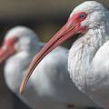 White Ibis by Ken Stampfer
