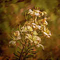 White Lilies Aug- by Leif Sohlman