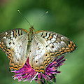 White Peacock Butterfly 8520-110618-1cr by Tam Ryan