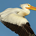 White Pelican 2014-1 by Thomas Young