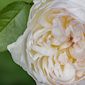 White Peony Flower by Susan Candelario