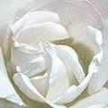 White Rose by Cindy Greenstein