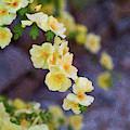 White Rose - Loving Gently- By Omaste Witkowski by Omaste Witkowski