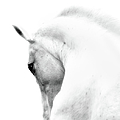 White Stallion Andalusian Horse Neck by 66north