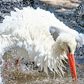 White Stork Fishing by Nadia Sanowar
