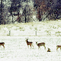 White Tail Deer by Jim Thompson