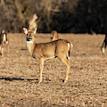 White-tailed Deer 2019-2 by Thomas Young