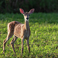 White-tailed Fawn 2018-1 by Thomas Young