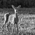 White-tailed Fawn 2018-2 by Thomas Young