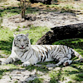 White Tiger At Rest by Kenneth Montgomery
