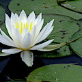 White Water Lilly by Jeffrey PERKINS