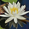 White Water Lily-square by Bradford Martin