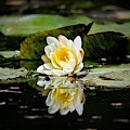 White Water Lily Reflection