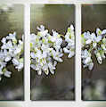 Whitebud Triptych by Ann Jacobson