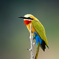 Whitefronted Bee-eater Merops by Johan Swanepoel