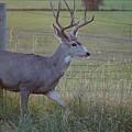 Whitetail Deer by Susan Brown