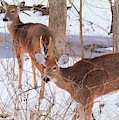 Whitetail Winterlude by Tami Quigley