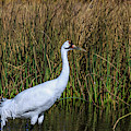 Whooping Crane In Pond by Dawn Richards