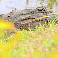 Wild Alligator In Spring by Dan Sproul