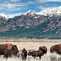 Wild Bison On The Open Range by Kathleen Bishop