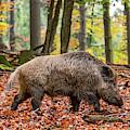 Wild Boar by Arterra Picture Library