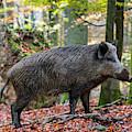 Wild Boar In Autumn by Arterra Picture Library