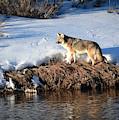 Wild Coyote by Karen Wiles