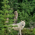 Wild Gray Wolf In Boreal Forest Northwest Territories Canada by Dave Welling