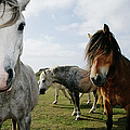 Wild Horses Equus Caballus On Coastal by Steve Coleman