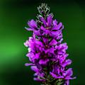 Wild Purple by Max Huber
