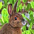 Wild Rabbit by Debbie Stahre