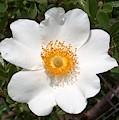 Wild Texas Rose, White by Joney Jackson