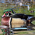 Wild Wood Duck On The Old Mill Pond  by Kathleen Bishop