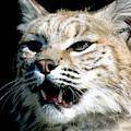 Wildcats Mascot 2 by Larry Allan