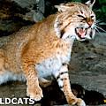 Wildcats Mascot 3 by Larry Allan