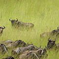 Wildebeest In Tall Grass by Mary Lee Dereske