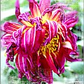 Wilted Dahlia. by Trudee Hunter