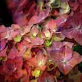 Wine Hydrangea 6285 Idp_2 by Steven Ward