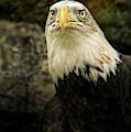 Winter Eagle by Bob Orsillo