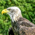 Wisconsin Bald Eagle by Tommy Anderson