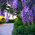Wisteria At Sunset by Jessica Jenney