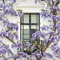 Wisteria In Canning Place Kensington London by Tim Gainey