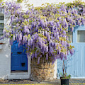 Wisteria In St Lukes Mews by Tim Gainey