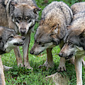 Wolf Pack by Arterra Picture Library