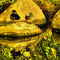 Wood Duck Pair And Their Reflection by Jeff Swan