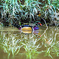 Wood Duck Reflection by Dan Sproul