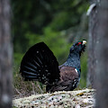 Wood Grouse Framed By Pine Trees by Torbjorn Swenelius