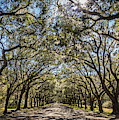 Wormsloe Oaks by Framing Places